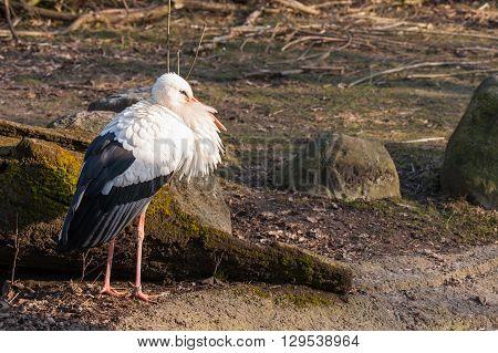 Stork In The Sun At Springtime