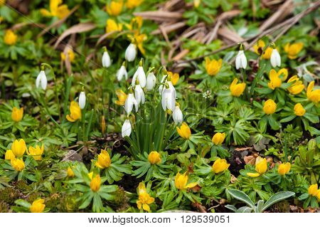Garden With Snowdrops And Eranthis