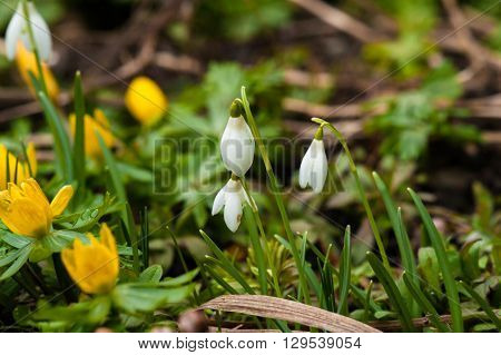 Snowdrops And Eranthis In March