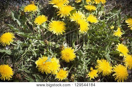 a dandelion plant with plenty of flowers