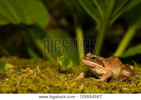 A Wood Frog on a bed of moss.