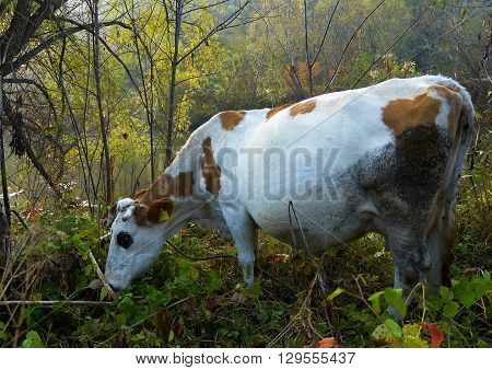 Dirty piebald cow grazing in the bush