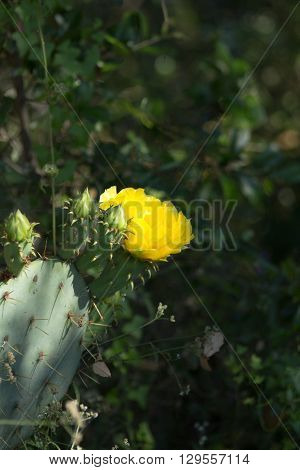 Yellow prickly pear cactus bloom with dark green background