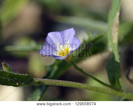 Five-lobed Bindweed - Convolvulus pentapetaloides Wild Flower from Cyprus