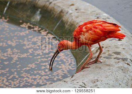 Scarlet Ibis Or Eudocimus Ruber