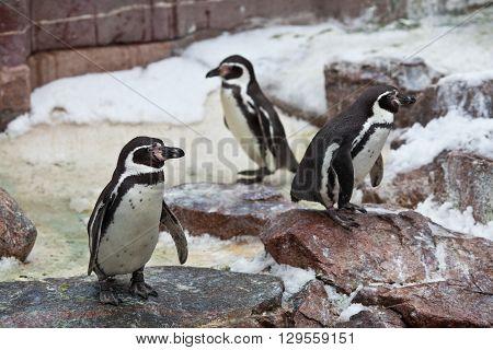 Penguins ,sphenisciformes