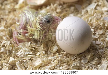 chick expecting the birth of his brother