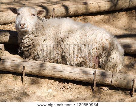 Smiling sheep lying sunbathing on the Farm
