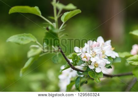 Branch of apple tree blossom close up low aperture shot