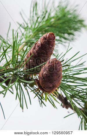 The branch of larch cones on white background