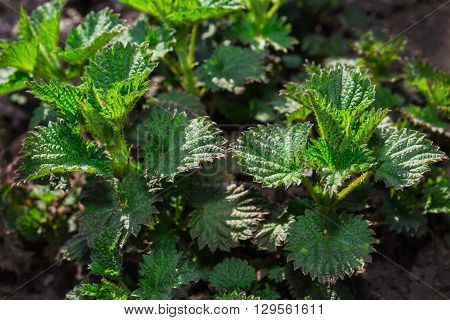 Young shoots of nettle in the spring forest.