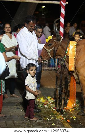 Pune India - November 7 2015: Hindus perform a ritual to worship the holy cow during Diwali festival