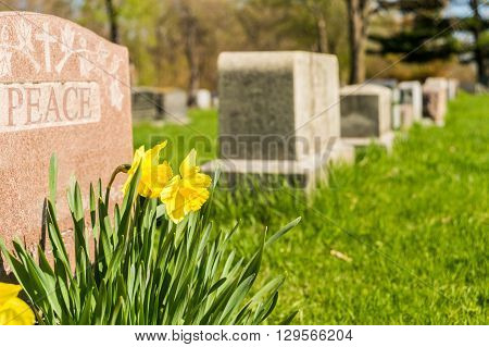 Tombstones In Montreal Cemetary With Yellow Jonquils In Springtime