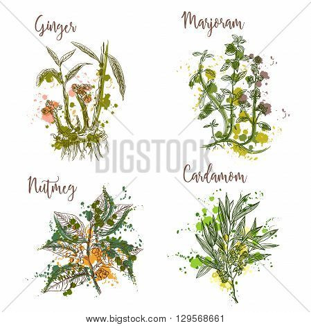 Cooking herbs and spices in watercolor style . Ginger, marjoram, nutmeg, cardamom. Retro hand drawn vector illustration. Retro banner, card, scrap booking, postcard, poster