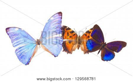 Multicolored tropical blue and orange exotic butterflies frame isolated on white background