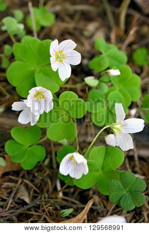 Oxalis acetosella (wood sorrel) flowers in forest selective focus