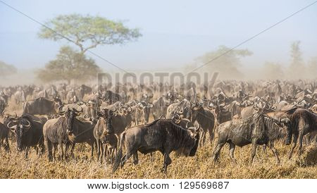 Wildebeest Migration. The Herd Of Migrating Antelopes Goes On Dusty Savanna. The Wildebeests, Also C