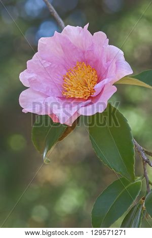 Winter's fancy hybrid camellia (Camellia x hybrid Winter's Fancy). Image of single flower