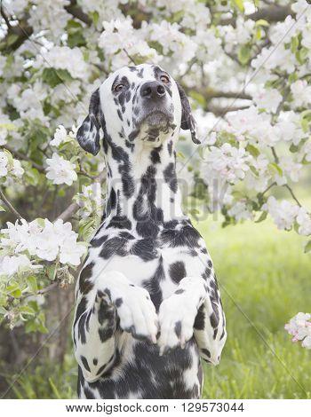 Cute happy dalmatian dog puppy sitting near the summer tree