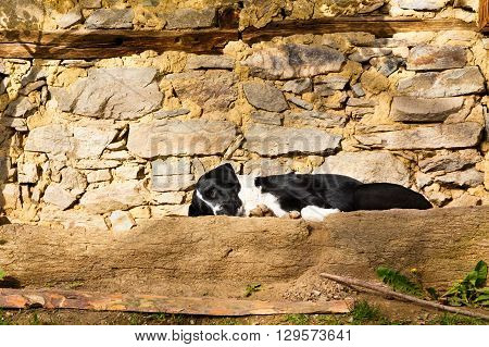 Cute black and white dog lying sleeping on a stone terrace in the sun in front of a rustic stone wall low angle view with copy space