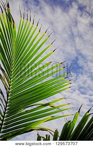 Palm leaves on cloudy sky background