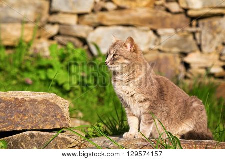 Ginger cat perched sitting on a garden stone looking intently back over its shoulder as it watches something profile view.