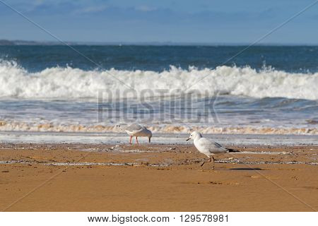 Young Silver Gull seabird walking along the beach in the afternoon with blurred wave and sea background, focus of the front gull