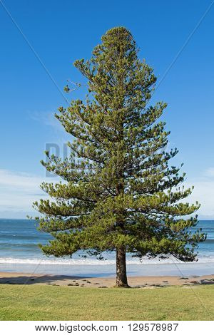 Norfolk Island pine tree growing on the seashore at Torquay surf beach, a township in Victoria, Australia