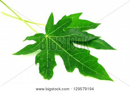 Papaya Leaves On White Background.