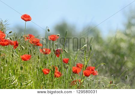 wild poppy flowers on spring field, close up