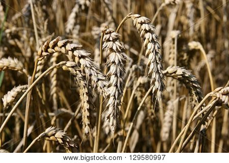 A field with golden wheat. Close up