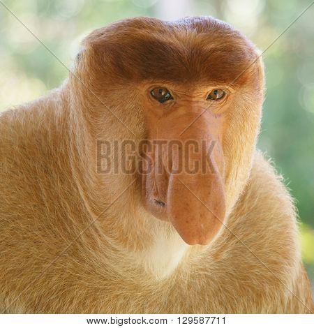 A proboscis monkey with eye contact to camera at Labuk Bay Conservation area in Sandakan Sabah Malaysia.