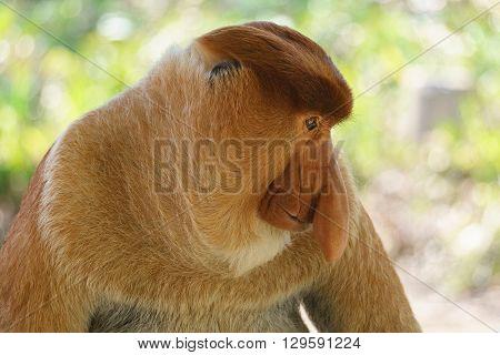 Close-up portrait of a proboscis monkey at mangrove forest in Sandakan Sabah Malaysia.