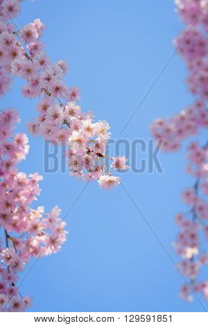 Weeping cherry blossom with blue sky in Japan