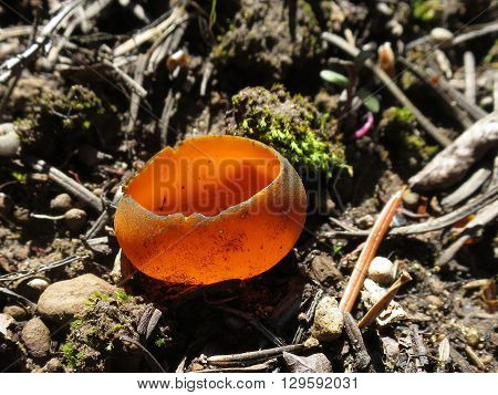 Spring Orange Peel Fungus - Caloscypha fulgens