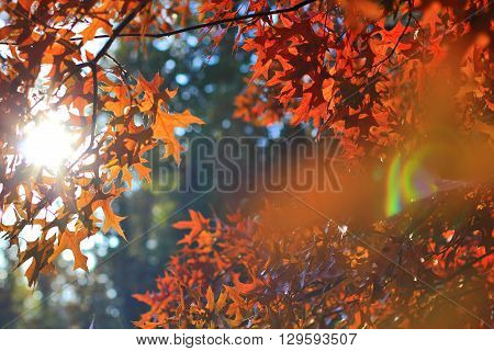 beech red Quercus palustris Muenchh Autumn sun rays