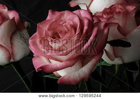 Rose On Dark Background
