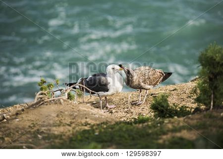 Two different colored seagulls, white and brown, playing on a cliff by the ocean  in La Jolla cove, San Diego, California