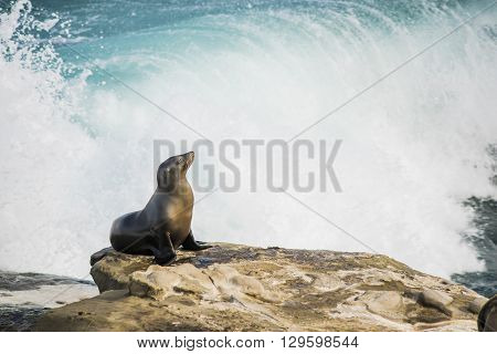 Single arched and wet sea lion sun bathing on a cliff with crashing waves in the background  in La Jolla cove, San Diego, California