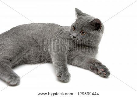 beautiful gray kitten lies on a white background. horizontal photo.