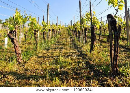 Photo of vineyard on a bright sunny spring day