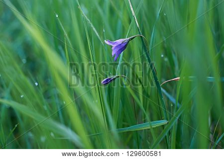 Spring flower bell in the grass with dew drops