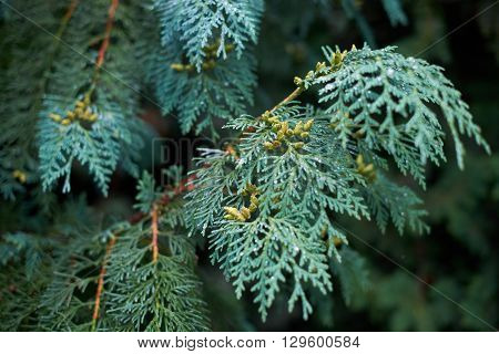 Blue branch juniper with dew in cloudy weather