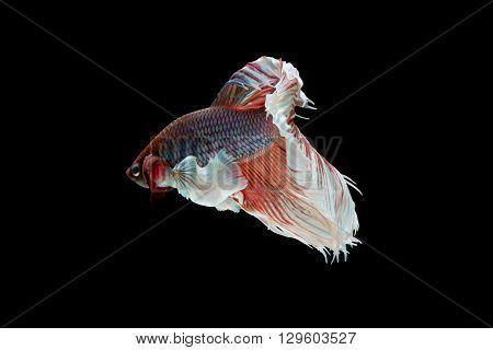 Beta Fish