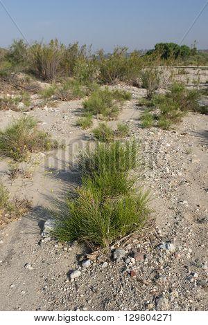 Grass Grows In Santa Clara River