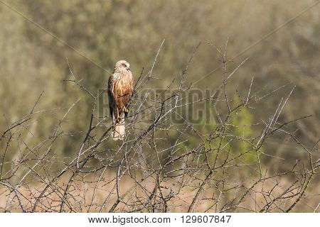 Male Western marsh harrier (Circus aeruginosus) perched in a tree.