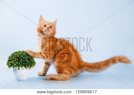 portrait of red maine coon cat on blue background.