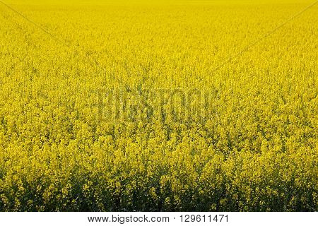 Fields of Yellow Canola Rapeseed Plant Flowering
