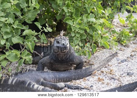 Marine iguana in bushes on Galapagos Islands