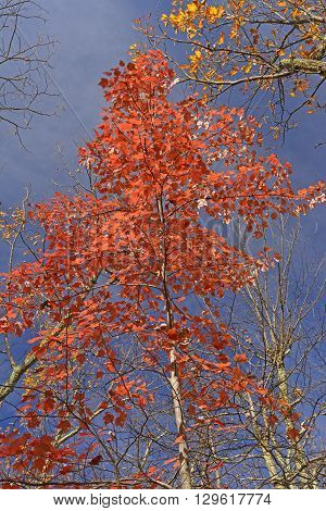 Red Maple in the Fall along the Blue Ridge Parkway in Virginia